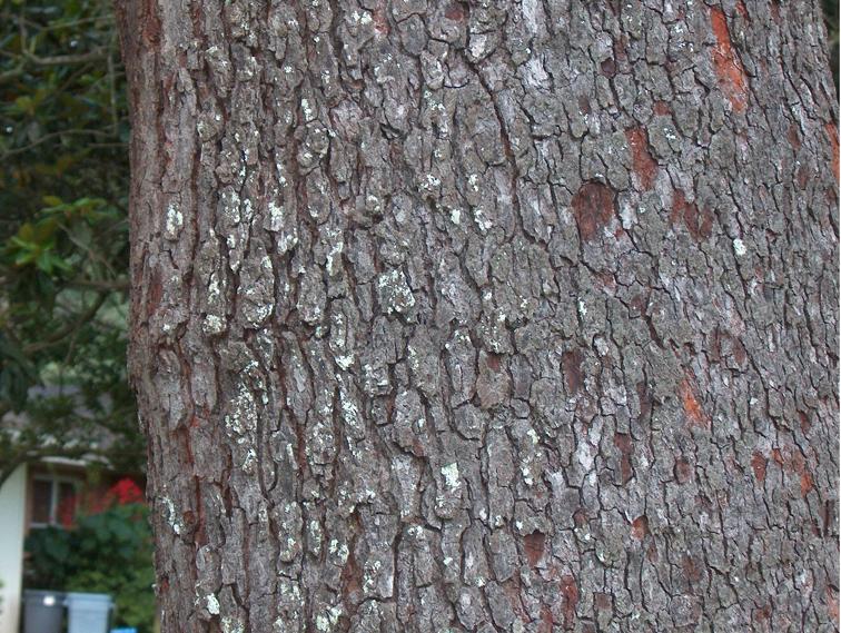 Prunus serotina; Black... Prunus Serotina Bark